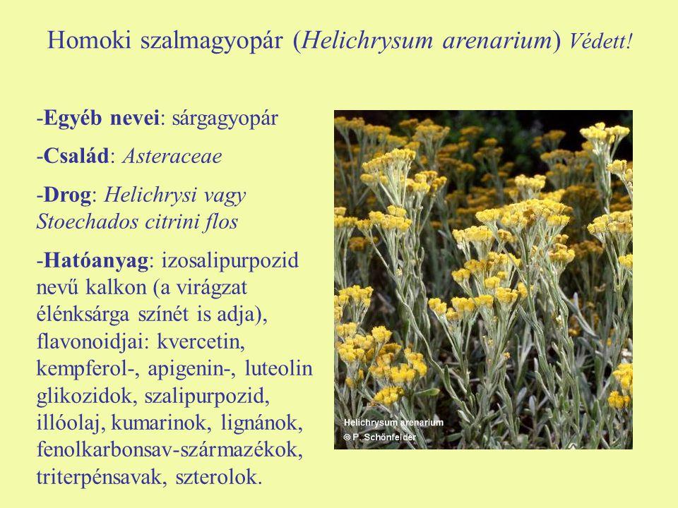 Homoki szalmagyopár (Helichrysum arenarium) Védett.