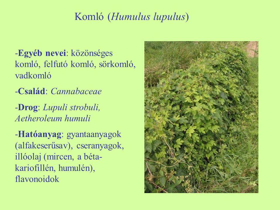 Komló (Humulus lupulus) -Egyéb nevei: közönséges komló, felfutó komló, sörkomló, vadkomló -Család: Cannabaceae -Drog: Lupuli strobuli, Aetheroleum humuli -Hatóanyag: gyantaanyagok (alfakeserűsav), cseranyagok, illóolaj (mircen, a béta- kariofillén, humulén), flavonoidok