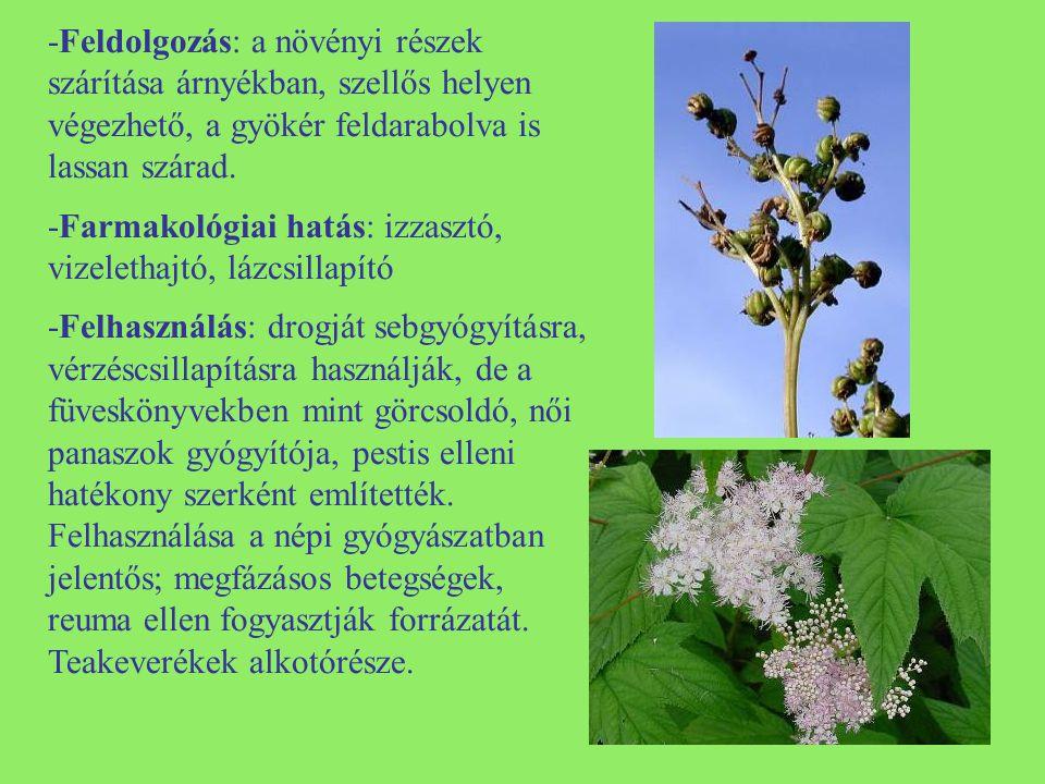 -Morfológia: kétéves növény, tőlevelei karéjosan fogasak, szárlevelei hosszúkásak, bozontos szőrűek.