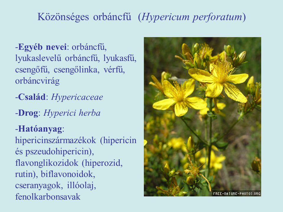 Közönséges orbáncfű (Hypericum perforatum) -Egyéb nevei: orbáncfű, lyukaslevelű orbáncfű, lyukasfű, csengőfű, csengőlinka, vérfű, orbáncvirág -Család: Hypericaceae -Drog: Hyperici herba -Hatóanyag: hipericinszármazékok (hipericin és pszeudohipericin), flavonglikozidok (hiperozid, rutin), biflavonoidok, cseranyagok, illóolaj, fenolkarbonsavak