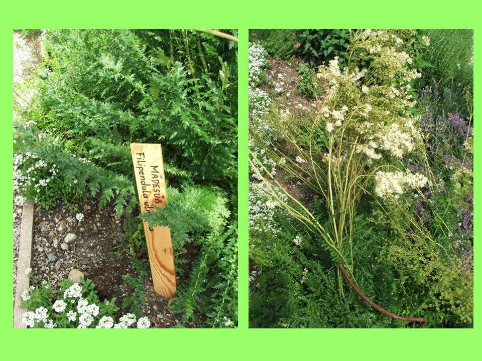 -Feldolgozás: a begyűjtött leveleket megmossuk, majd padláson, vagy árnyékos helyen szabadban esetleg mesterségesen szárítjuk.