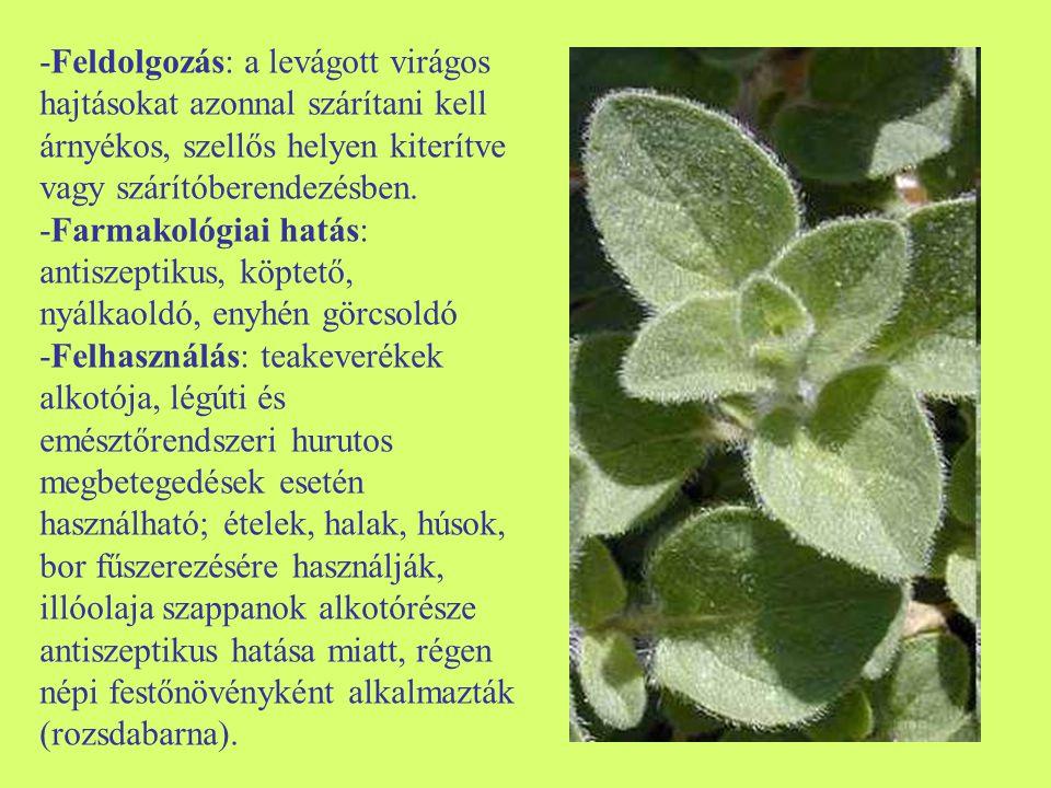 -Feldolgozás: a levágott virágos hajtásokat azonnal szárítani kell árnyékos, szellős helyen kiterítve vagy szárítóberendezésben.