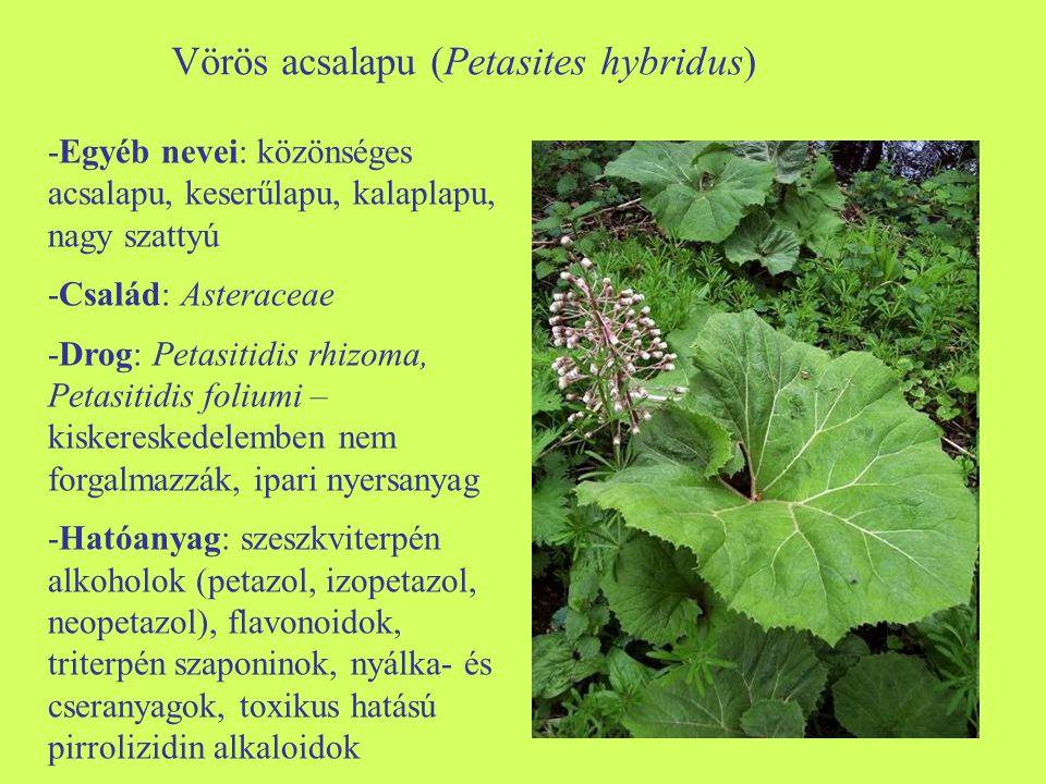 Vörös acsalapu (Petasites hybridus) -Egyéb nevei: közönséges acsalapu, keserűlapu, kalaplapu, nagy szattyú -Család: Asteraceae -Drog: Petasitidis rhizoma, Petasitidis foliumi – kiskereskedelemben nem forgalmazzák, ipari nyersanyag -Hatóanyag: szeszkviterpén alkoholok (petazol, izopetazol, neopetazol), flavonoidok, triterpén szaponinok, nyálka- és cseranyagok, toxikus hatású pirrolizidin alkaloidok