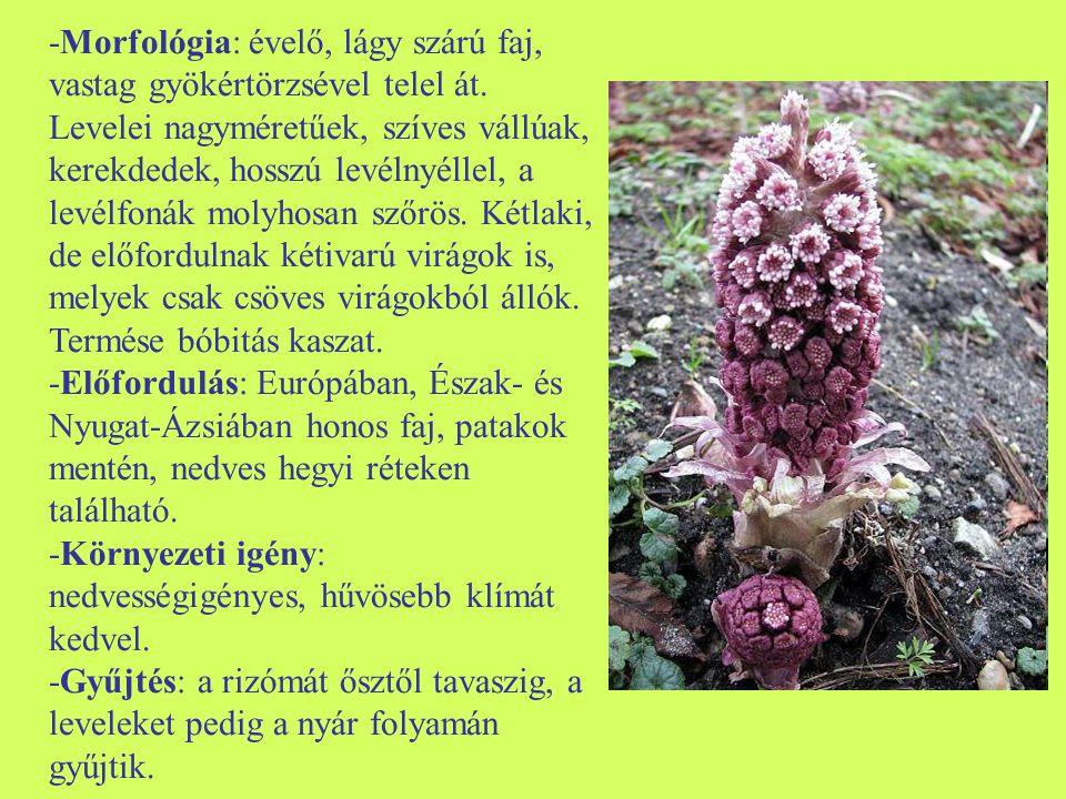 -Morfológia: évelő, lágy szárú faj, vastag gyökértörzsével telel át.