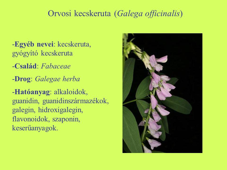 -Morfológia: évelő növényfaj, bokrosan növő, felálló szárú.
