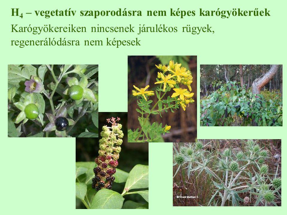 H 4 – vegetatív szaporodásra nem képes karógyökerűek Karógyökereiken nincsenek járulékos rügyek, regenerálódásra nem képesek