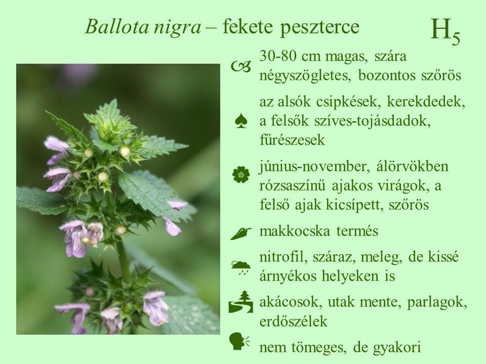 H5H5 Ballota nigra – fekete peszterce 30-80 cm magas, szára négyszögletes, bozontos szőrös az alsók csipkések, kerekdedek, a felsők szíves-tojásdadok,
