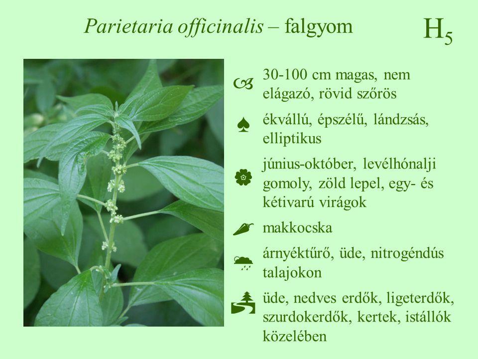 H5H5 Parietaria officinalis – falgyom 30-100 cm magas, nem elágazó, rövid szőrös ékvállú, épszélű, lándzsás, elliptikus június-október, levélhónalji g