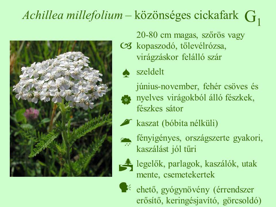 G1G1 Achillea millefolium – közönséges cickafark 20-80 cm magas, szőrös vagy kopaszodó, tőlevélrózsa, virágzáskor felálló szár szeldelt június-novembe