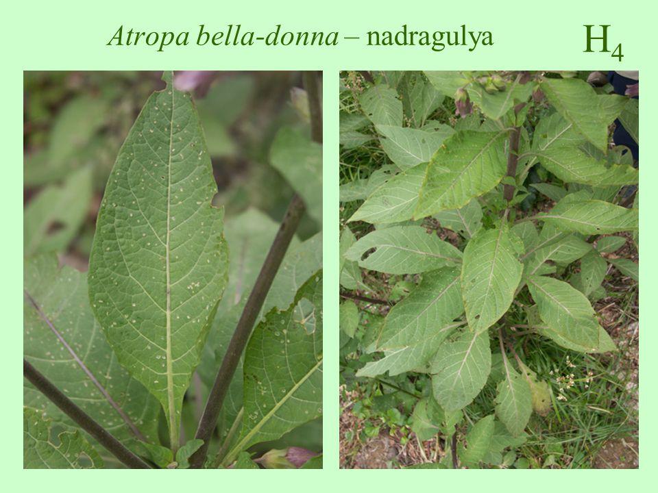 H4H4 Atropa bella-donna – nadragulya