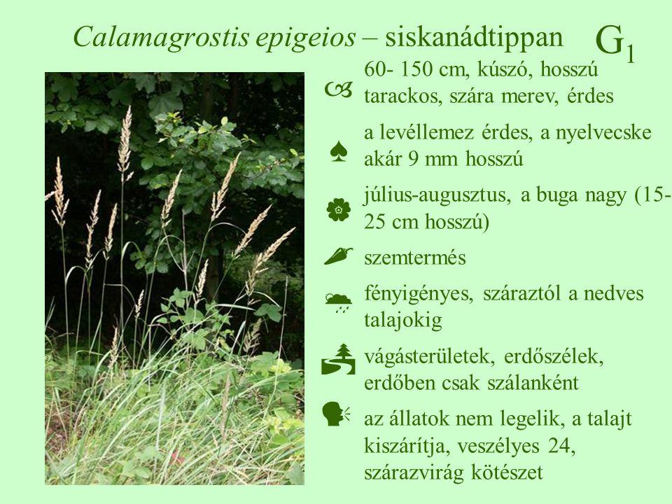 G1G1 Calamagrostis epigeios – siskanádtippan 60- 150 cm, kúszó, hosszú tarackos, szára merev, érdes a levéllemez érdes, a nyelvecske akár 9 mm hosszú