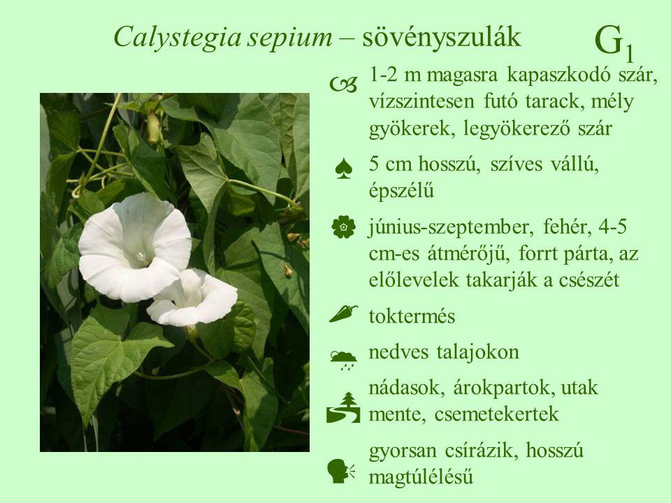 G1G1 Calystegia sepium – sövényszulák 1-2 m magasra kapaszkodó szár, vízszintesen futó tarack, mély gyökerek, legyökerező szár 5 cm hosszú, szíves vál