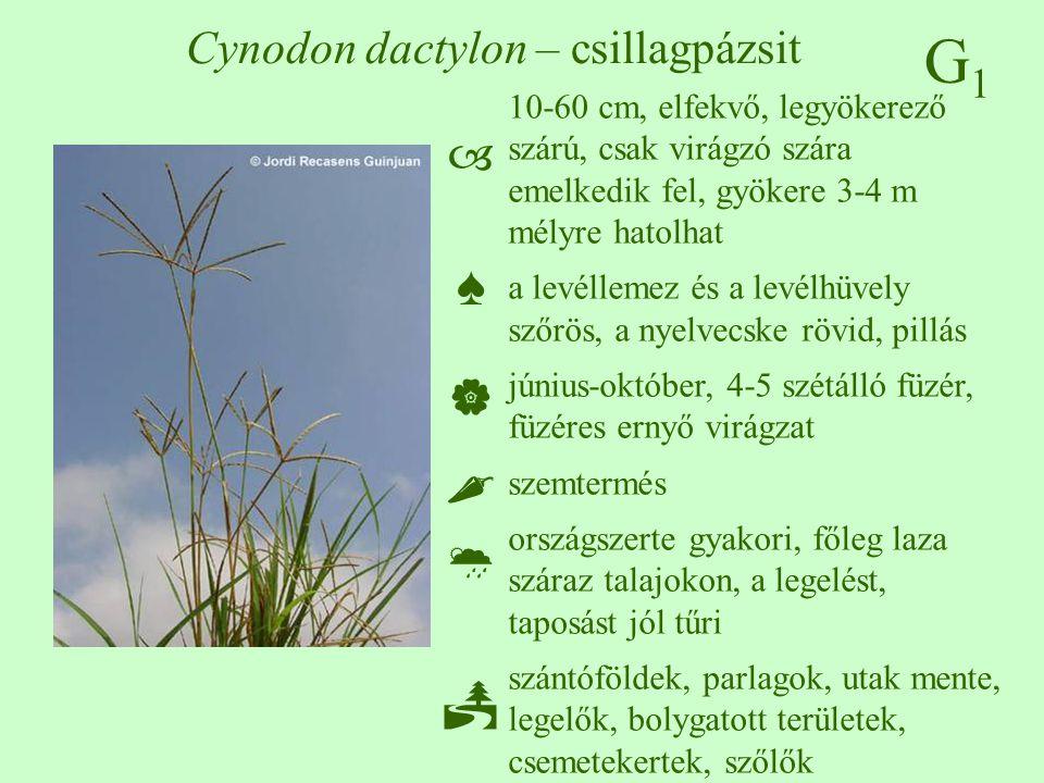 G1G1 Cynodon dactylon – csillagpázsit 10-60 cm, elfekvő, legyökerező szárú, csak virágzó szára emelkedik fel, gyökere 3-4 m mélyre hatolhat a levéllem