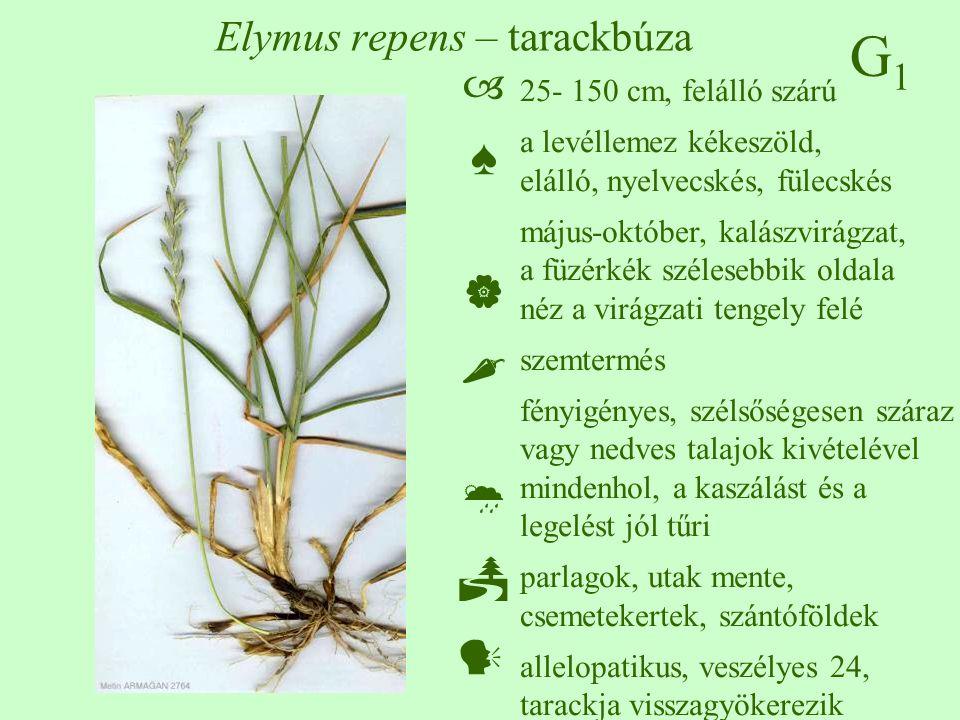 G1G1 Elymus repens – tarackbúza 25- 150 cm, felálló szárú a levéllemez kékeszöld, elálló, nyelvecskés, fülecskés május-október, kalászvirágzat, a füzé