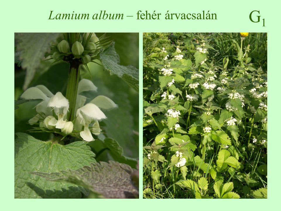 G1G1 Lamium album – fehér árvacsalán