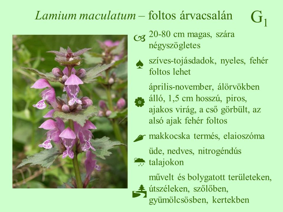 G1G1 Lamium maculatum – foltos árvacsalán 20-80 cm magas, szára négyszögletes szíves-tojásdadok, nyeles, fehér foltos lehet április-november, álörvökb