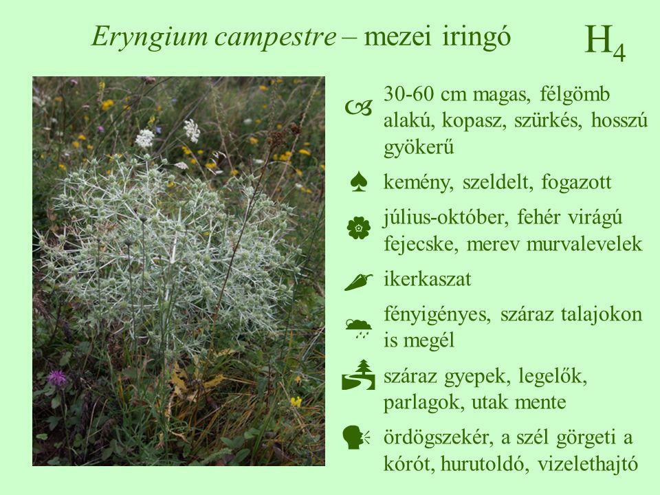 H4H4 Eryngium campestre – mezei iringó 30-60 cm magas, félgömb alakú, kopasz, szürkés, hosszú gyökerű kemény, szeldelt, fogazott július-október, fehér
