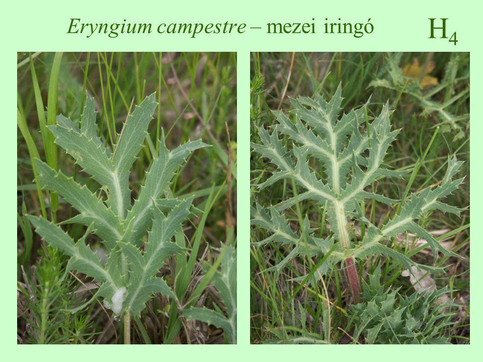 G1G1 Lamium maculatum – foltos árvacsalán 20-80 cm magas, szára négyszögletes szíves-tojásdadok, nyeles, fehér foltos lehet április-november, álörvökben álló, 1,5 cm hosszú, piros, ajakos virág, a cső görbült, az alsó ajak fehér foltos makkocska termés, elaioszóma üde, nedves, nitrogéndús talajokon művelt és bolygatott területeken, útszéleken, szőlőben, gyümölcsösben, kertekben ♠♠