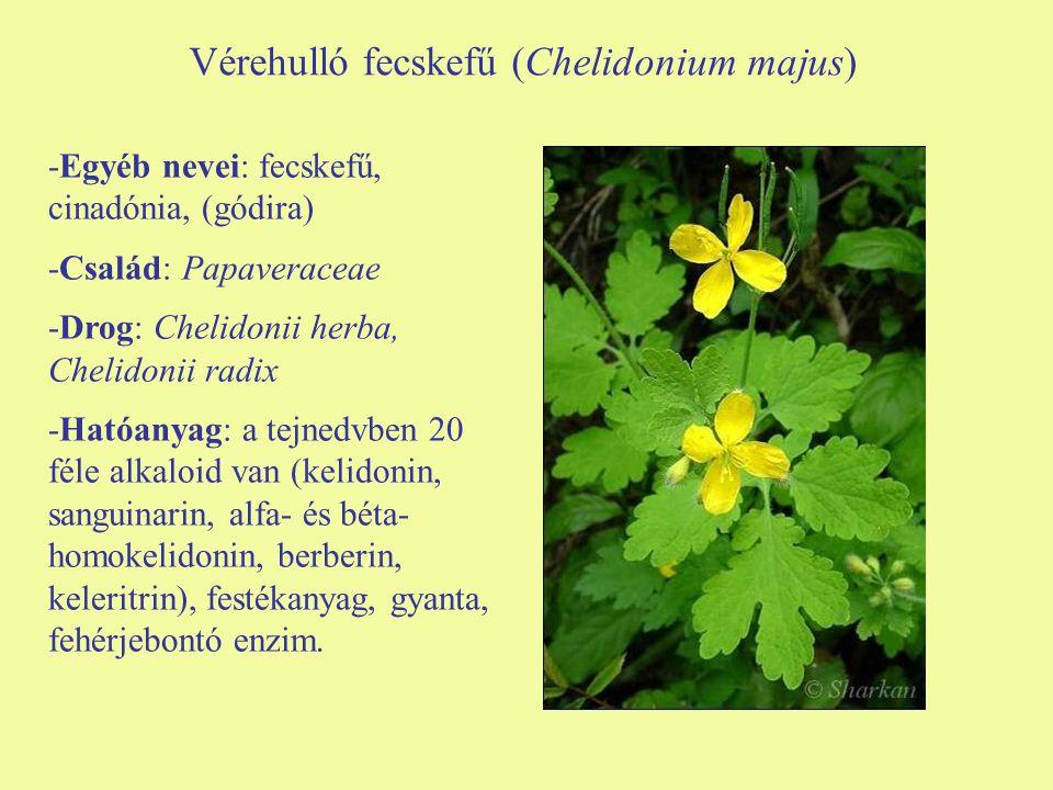 Vérehulló fecskefű (Chelidonium majus) -Egyéb nevei: fecskefű, cinadónia, (gódira) -Család: Papaveraceae -Drog: Chelidonii herba, Chelidonii radix -Ha