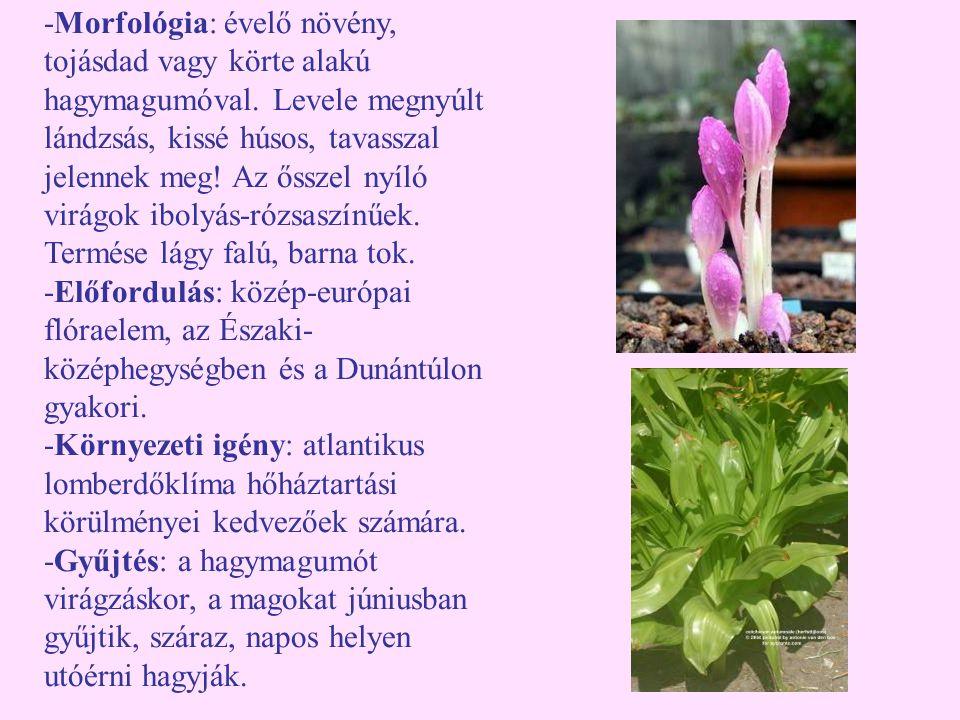 -Morfológia: évelő növény, tojásdad vagy körte alakú hagymagumóval. Levele megnyúlt lándzsás, kissé húsos, tavasszal jelennek meg! Az ősszel nyíló vir