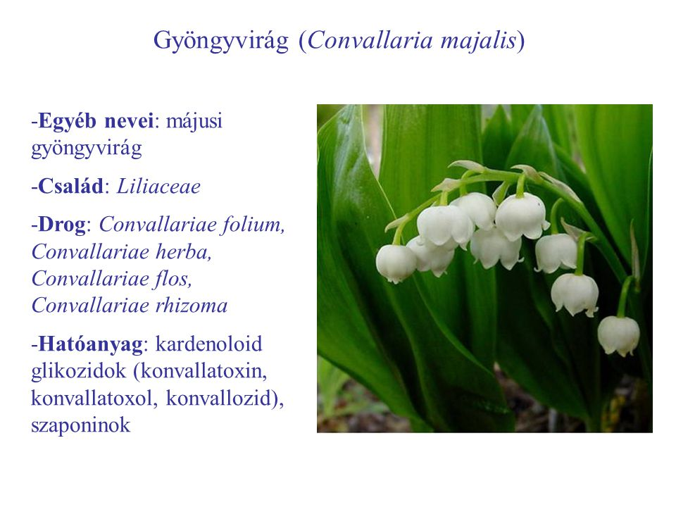 Gyöngyvirág (Convallaria majalis) -Egyéb nevei: májusi gyöngyvirág -Család: Liliaceae -Drog: Convallariae folium, Convallariae herba, Convallariae flo