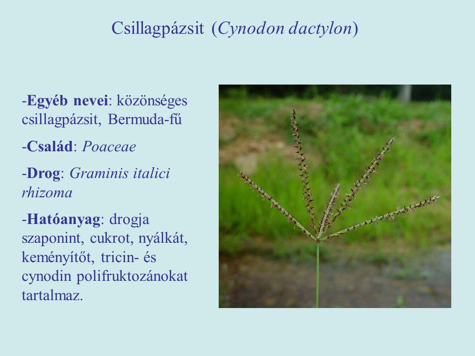 Csillagpázsit (Cynodon dactylon) -Egyéb nevei: közönséges csillagpázsit, Bermuda-fű -Család: Poaceae -Drog: Graminis italici rhizoma -Hatóanyag: drogj
