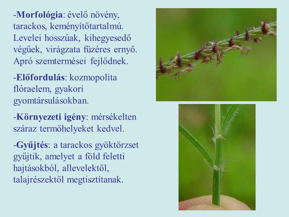 -Morfológia: évelő növény, tarackos, keményítőtartalmú. Levelei hosszúak, kihegyesedő végűek, virágzata füzéres ernyő. Apró szemtermései fejlődnek. -E