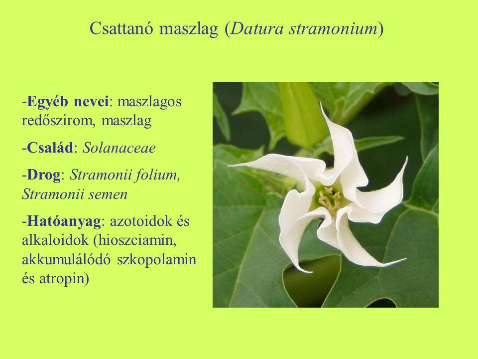 Csattanó maszlag (Datura stramonium) -Egyéb nevei: maszlagos redőszirom, maszlag -Család: Solanaceae -Drog: Stramonii folium, Stramonii semen -Hatóany
