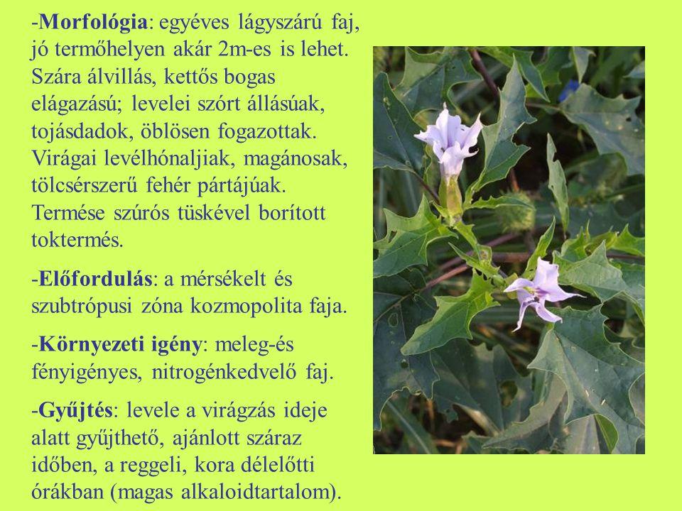 -Morfológia: egyéves lágyszárú faj, jó termőhelyen akár 2m-es is lehet. Szára álvillás, kettős bogas elágazású; levelei szórt állásúak, tojásdadok, öb