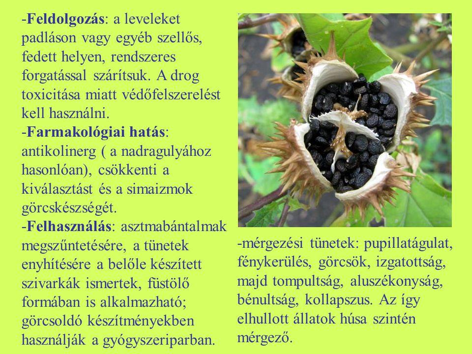 -Feldolgozás: a leveleket padláson vagy egyéb szellős, fedett helyen, rendszeres forgatással szárítsuk. A drog toxicitása miatt védőfelszerelést kell