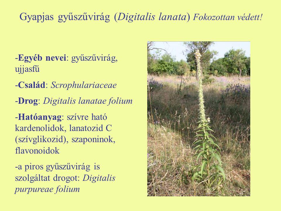Gyapjas gyűszűvirág (Digitalis lanata) Fokozottan védett! -Egyéb nevei: gyűszűvirág, ujjasfű -Család: Scrophulariaceae -Drog: Digitalis lanatae folium
