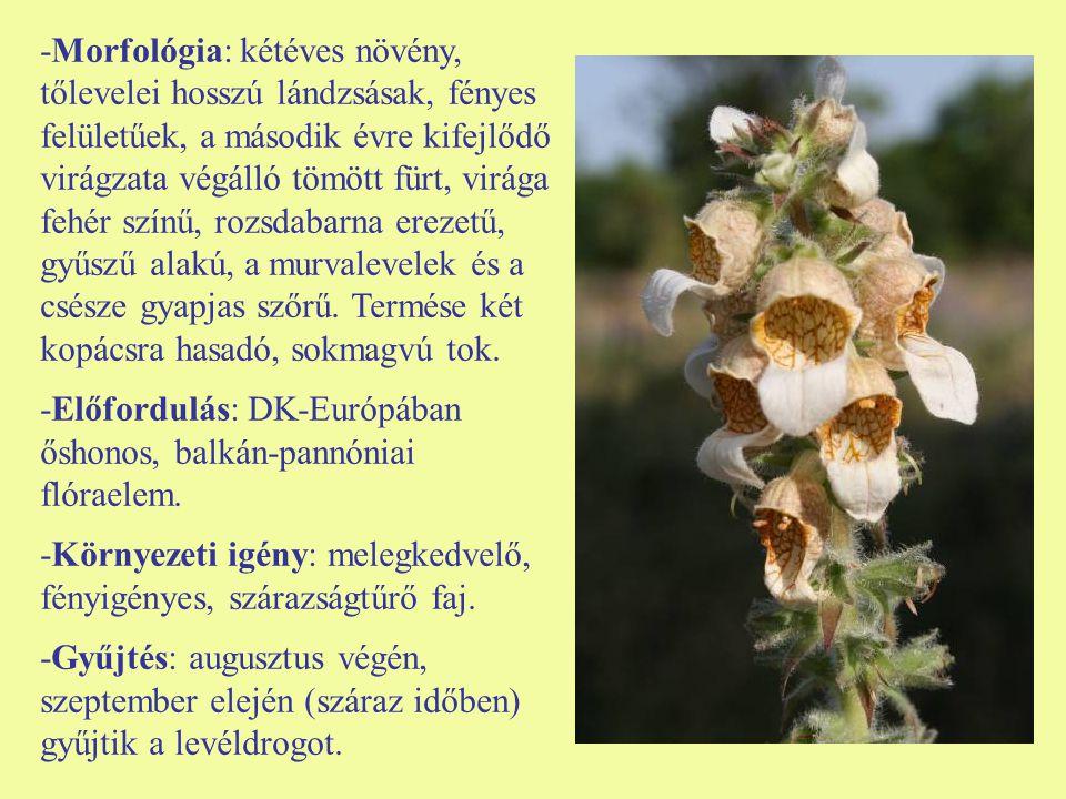 -Morfológia: kétéves növény, tőlevelei hosszú lándzsásak, fényes felületűek, a második évre kifejlődő virágzata végálló tömött fürt, virága fehér szín