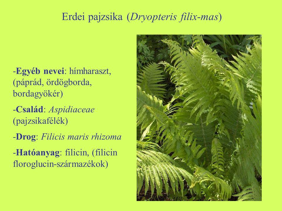 Erdei pajzsika (Dryopteris filix-mas) -Egyéb nevei: hímharaszt, (páprád, ördögborda, bordagyökér) -Család: Aspidiaceae (pajzsikafélék) -Drog: Filicis