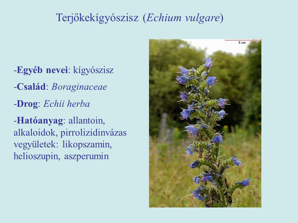 Terjőkekígyószisz (Echium vulgare) -Egyéb nevei: kígyószisz -Család: Boraginaceae -Drog: Echii herba -Hatóanyag: allantoin, alkaloidok, pirrolizidinvá
