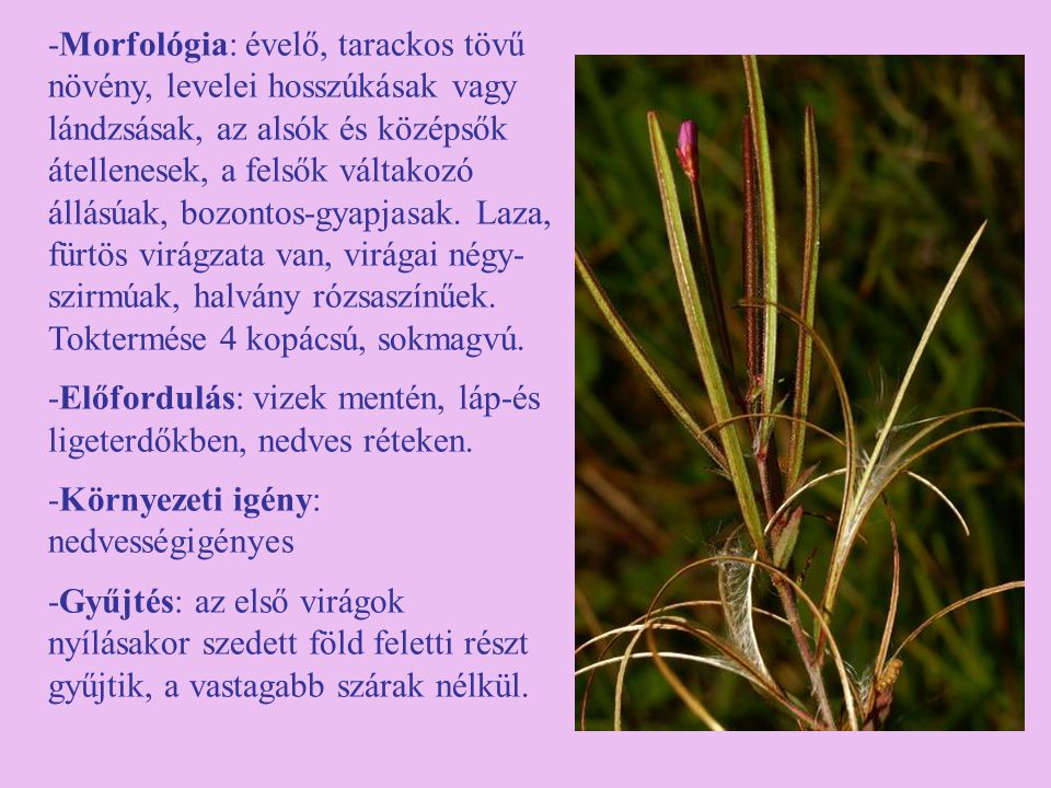 -Morfológia: évelő, tarackos tövű növény, levelei hosszúkásak vagy lándzsásak, az alsók és középsők átellenesek, a felsők váltakozó állásúak, bozontos