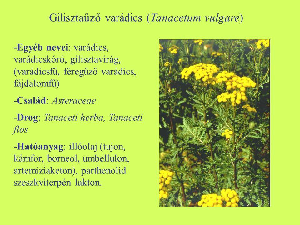 Gilisztaűző varádics (Tanacetum vulgare) -Egyéb nevei: varádics, varádicskóró, gilisztavirág, (varádicsfű, féregűző varádics, fájdalomfű) -Család: Ast