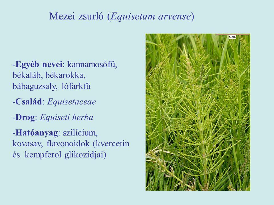 Mezei zsurló (Equisetum arvense) -Egyéb nevei: kannamosófű, békaláb, békarokka, bábaguzsaly, lófarkfű -Család: Equisetaceae -Drog: Equiseti herba -Hat
