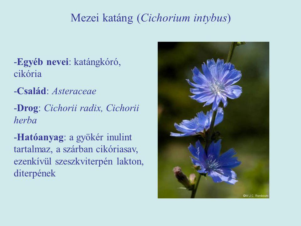 Mezei katáng (Cichorium intybus) -Egyéb nevei: katángkóró, cikória -Család: Asteraceae -Drog: Cichorii radix, Cichorii herba -Hatóanyag: a gyökér inul