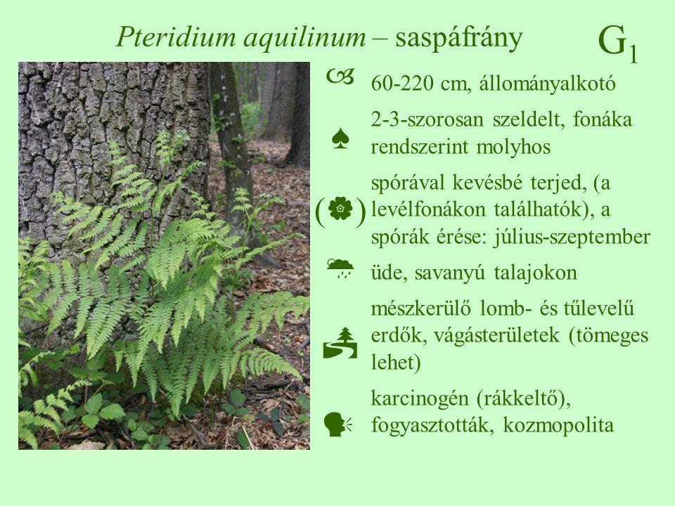 G1G1 Pteridium aquilinum – saspáfrány 60-220 cm, állományalkotó 2-3-szorosan szeldelt, fonáka rendszerint molyhos spórával kevésbé terjed, (a levélfonákon találhatók), a spórák érése: július-szeptember üde, savanyú talajokon mészkerülő lomb- és tűlevelű erdők, vágásterületek (tömeges lehet) karcinogén (rákkeltő), fogyasztották, kozmopolita  ♠ (  )  