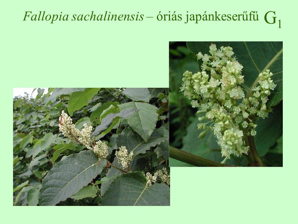 G1G1 Fallopia sachalinensis – óriás japánkeserűfű