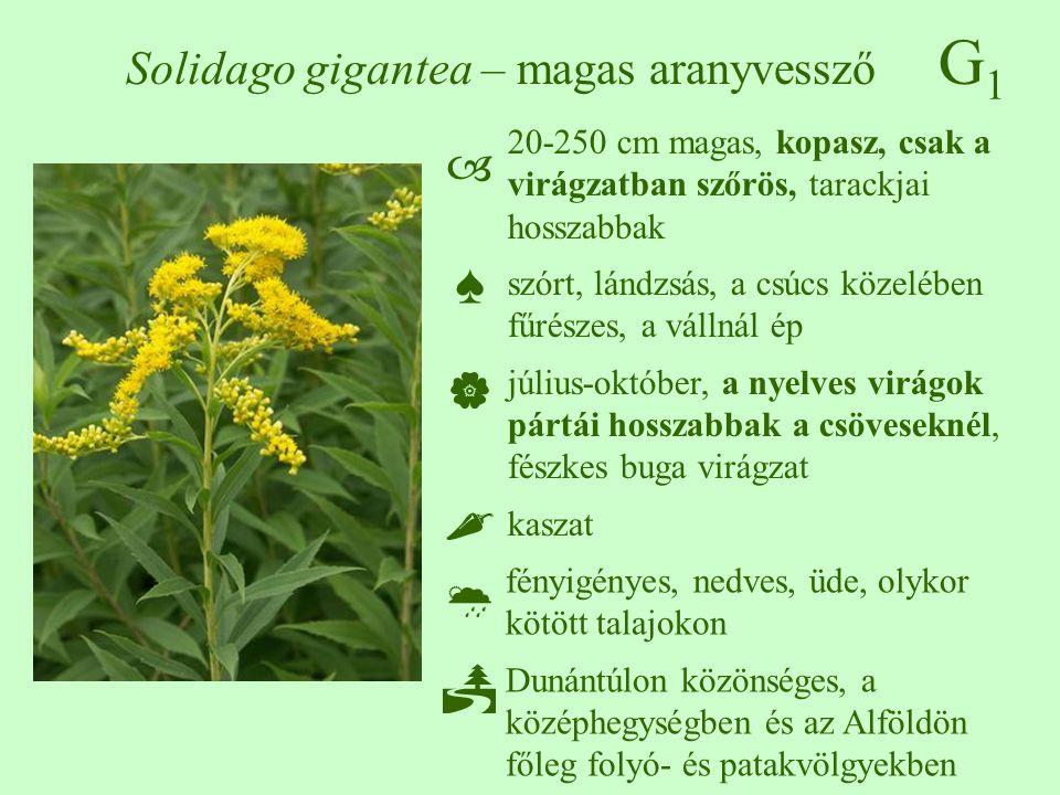 G1G1 Solidago gigantea – magas aranyvessző 20-250 cm magas, kopasz, csak a virágzatban szőrös, tarackjai hosszabbak szórt, lándzsás, a csúcs közelében fűrészes, a vállnál ép július-október, a nyelves virágok pártái hosszabbak a csöveseknél, fészkes buga virágzat kaszat fényigényes, nedves, üde, olykor kötött talajokon Dunántúlon közönséges, a középhegységben és az Alföldön főleg folyó- és patakvölgyekben ♠♠