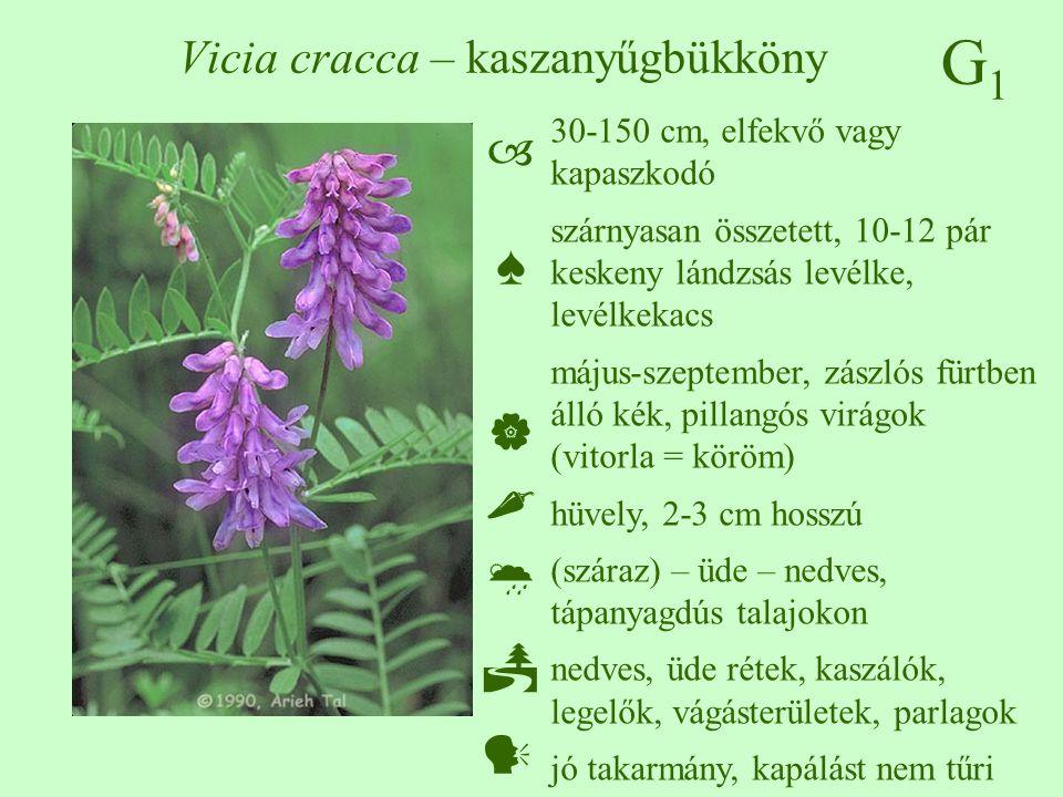 G1G1 Vicia cracca – kaszanyűgbükköny 30-150 cm, elfekvő vagy kapaszkodó szárnyasan összetett, 10-12 pár keskeny lándzsás levélke, levélkekacs május-szeptember, zászlós fürtben álló kék, pillangós virágok (vitorla = köröm) hüvely, 2-3 cm hosszú (száraz) – üde – nedves, tápanyagdús talajokon nedves, üde rétek, kaszálók, legelők, vágásterületek, parlagok jó takarmány, kapálást nem tűri  ♠    
