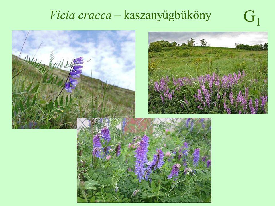 G1G1 Vicia cracca – kaszanyűgbüköny