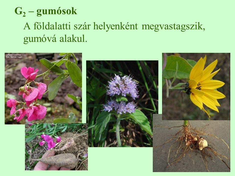 G 2 – gumósok A földalatti szár helyenként megvastagszik, gumóvá alakul.