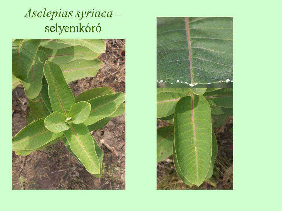 Asclepias syriaca – selyemkóró