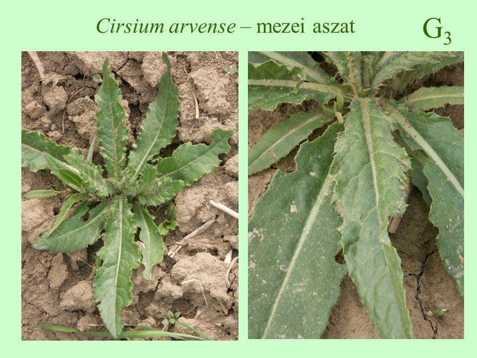 G3G3 Cirsium arvense – mezei aszat