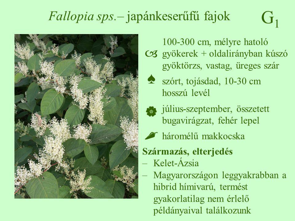 G1G1 Fallopia sps.– japánkeserűfű fajok 100-300 cm, mélyre hatoló gyökerek + oldalirányban kúszó gyöktörzs, vastag, üreges szár szórt, tojásdad, 10-30 cm hosszú levél július-szeptember, összetett bugavirágzat, fehér lepel háromélű makkocska ♠♠ Származás, elterjedés –Kelet-Ázsia –Magyarországon leggyakrabban a hibrid hímivarú, termést gyakorlatilag nem érlelő példányaival találkozunk