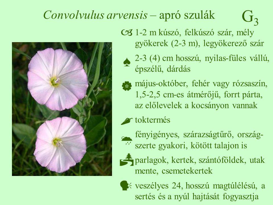 G3G3 Convolvulus arvensis – apró szulák 1-2 m kúszó, felkúszó szár, mély gyökerek (2-3 m), legyökerező szár 2-3 (4) cm hosszú, nyilas-füles vállú, épszélű, dárdás május-október, fehér vagy rózsaszín, 1,5-2,5 cm-es átmérőjű, forrt párta, az előlevelek a kocsányon vannak toktermés fényigényes, szárazságtűrő, ország- szerte gyakori, kötött talajon is parlagok, kertek, szántóföldek, utak mente, csemetekertek veszélyes 24, hosszú magtúlélésú, a sertés és a nyúl hajtását fogyasztja  ♠    