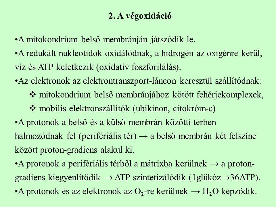 2. A végoxidáció A mitokondrium belső membránján játszódik le. A redukált nukleotidok oxidálódnak, a hidrogén az oxigénre kerül, víz és ATP keletkezik