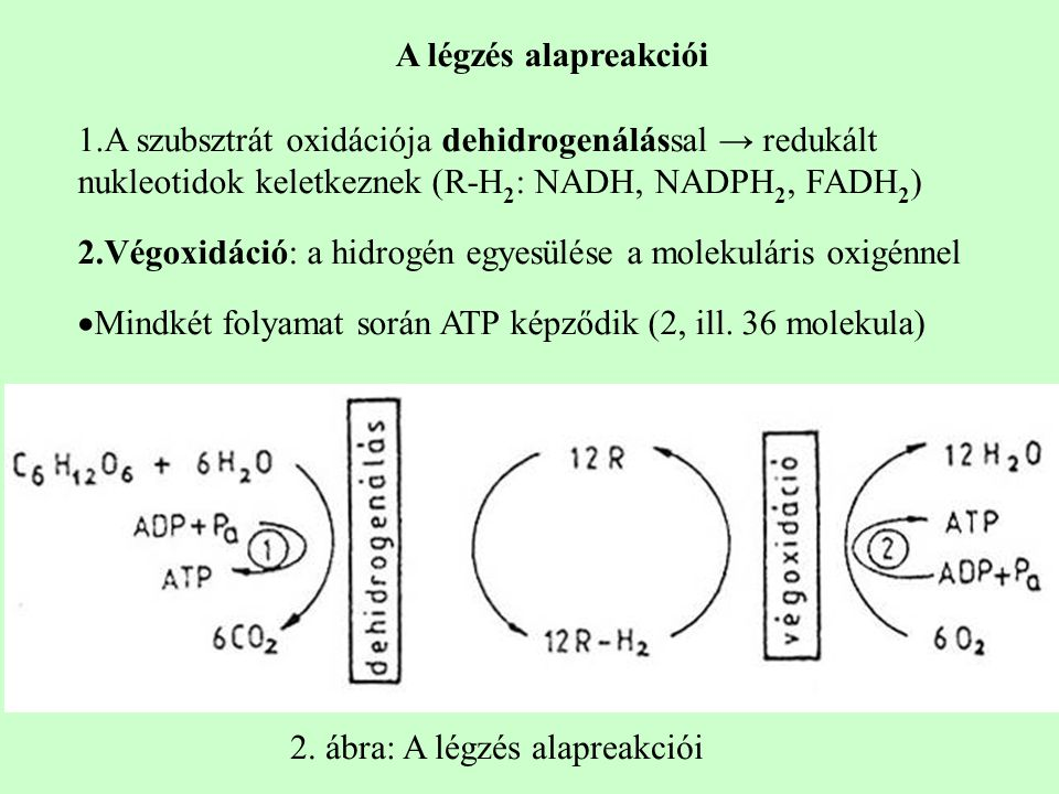 A légzés alapreakciói 1.A szubsztrát oxidációja dehidrogenálással → redukált nukleotidok keletkeznek (R-H 2 : NADH, NADPH 2, FADH 2 ) 2.Végoxidáció: a